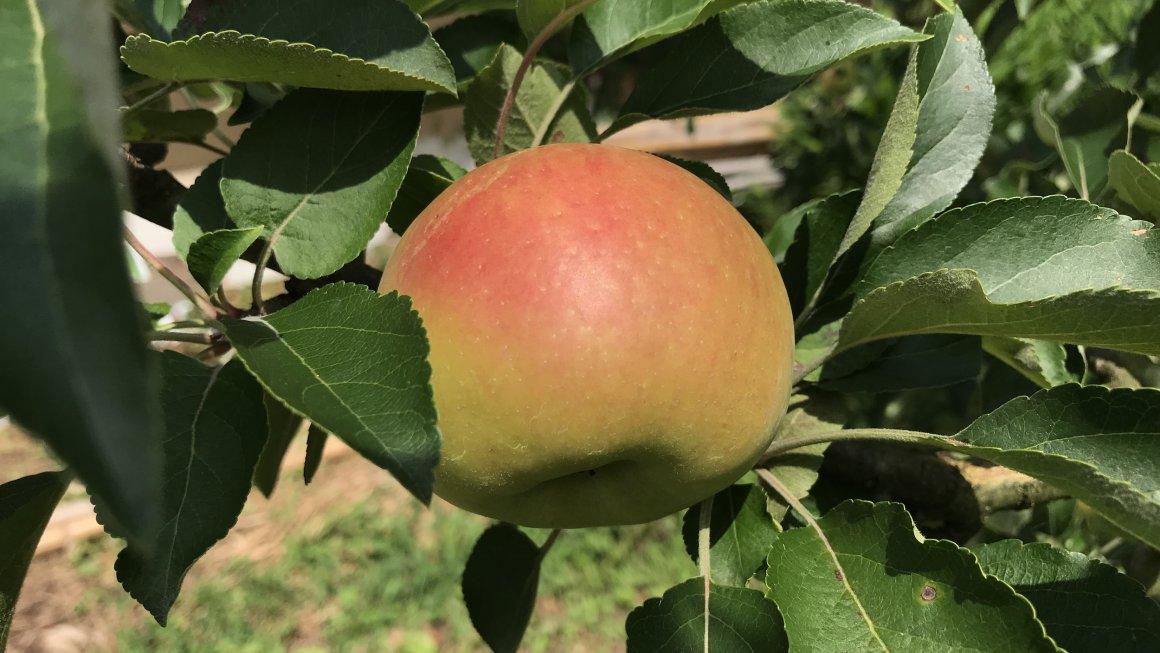 8月14日 摘果りんごの可能性を探る